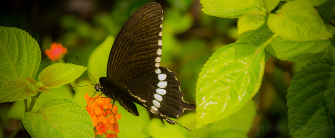 Butterflies of Goa